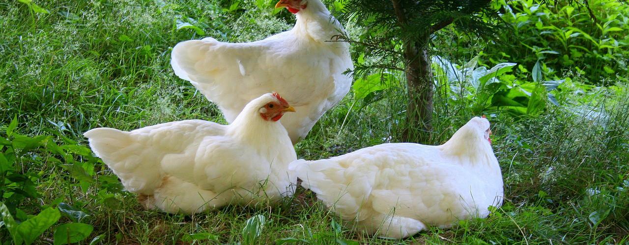 Image poulets (libre de droits)
